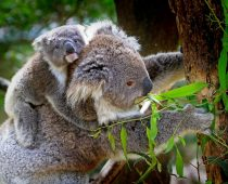 Koalas Are So Cute!